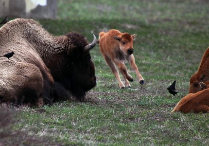 Yellowstone Bison Calf Is Euthanized After Riding in Tourists' S.U.V.